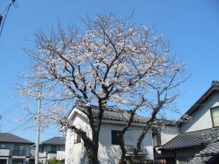 H20.4.3桜a