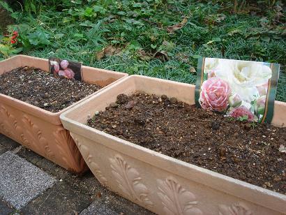 チューリップ植え