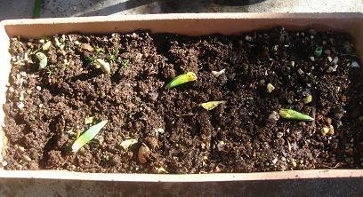 摘まれたチューリップの芽
