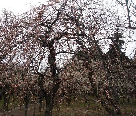 ピンク枝垂れ