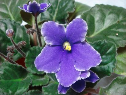 紫セントポーリア