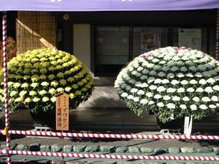 一つ一つが集まって大きな菊の大輪に