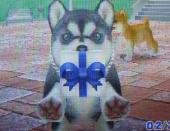 9SHIBA☆ICHIさんのハスキーまりあ プレゼント