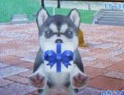 4hiroさんのハスキーEmily画像 069