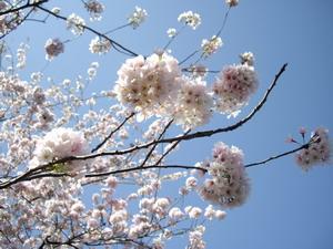 sakura zoomup