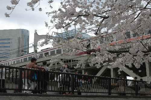 0 隅田川の桜