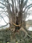080412小金湯桂の木
