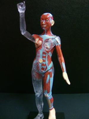 人体筋肉模型 女子A