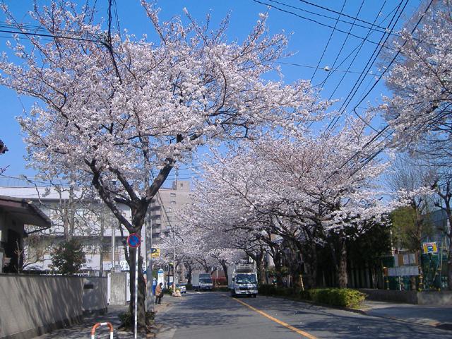 080328sakura.jpg