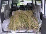 刈り取った稲2