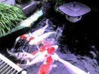 インディーズ ミュージシャンゆき姉のふるさと香川の実家 庭の池で泳ぐ鯉