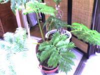 インディーズ ミュージシャンゆき姉のふるさと香川の実家 サンルームに生い茂るシダの類