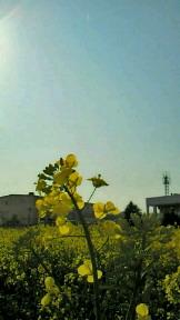 菜の花逆光