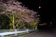 道路脇の夜桜