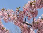 なばなの里 (早咲きの桜) 河津桜
