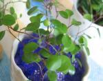 観葉植物 ミューレンベキア