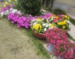 春の庭先 芝桜 ラッパ水仙 鉢植え