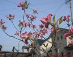 お庭 4月末の花水木