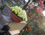 門の上 ビオラの鉢植え -2-