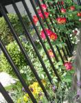 5月の庭 花壇 カクテル スノーポール ラベンダー ビオラ