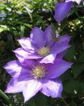 5月の庭 テッセン 縦画像