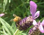 ラベンダー ミツバチ