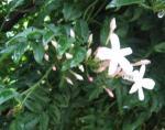 庭のジャスミン