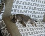 猫のにゃーにゃ リビングのソファにて