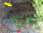 干からびた日陰植物 9月の庭