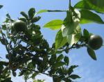 庭の蜜柑 10月7日