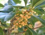 庭の金木犀の花 10月9日