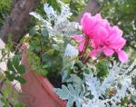 寄せ植え シクラメン パーセノシッサス シュガーパイン ダスティーミラー(シルバーレース)