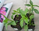 土と苗を買いました