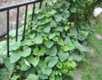 ジャングル化したサツマイモ