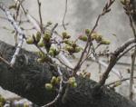 3月26日 桜の蕾
