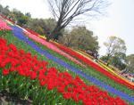 木曽三川公園 チューリップ祭り