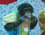 さる劇場 チンパンジー