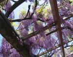 天王川公園 「藤まつり」