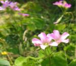 6月の庭 カタバミの花
