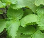 6月の庭 紫蘇