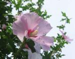 7月の庭 むくげの花