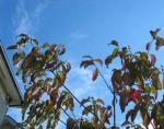 花水木が色づきました。 10月の空