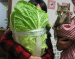 「え! これ白菜?」