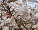 桜も枝によりほぼ満開状態?