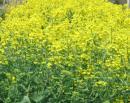 「菜種の花が彩っていようかという本陽気・・・」落語『愛宕山』より