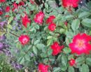 5月の庭 一重の薔薇のカクテルと ラベンダーが咲きました