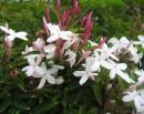 5月の庭 ジャスミンがすごく良い香りを運んできます
