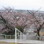 桜 形原にて