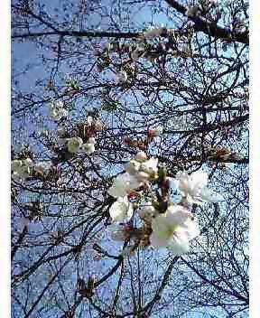 大高桜咲き始め