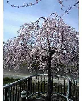 山崎川枝垂桜